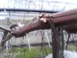 葡萄生産のこんな作業。_f0018099_415141.jpg