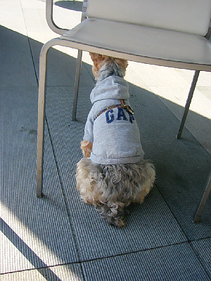 テラスの椅子の下に陣取ってお座りの姿勢をしている犬の後姿。パーカーにはGAPと書かれ、パーカーの上にハーネスを付けています。パーカーからはみ出ているお尻の巻き毛の毛と、短めの尻尾がキュートです。
