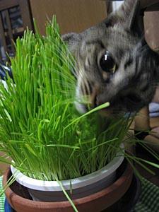 猫草。_d0034352_1003847.jpg