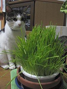 猫草。_d0034352_100577.jpg