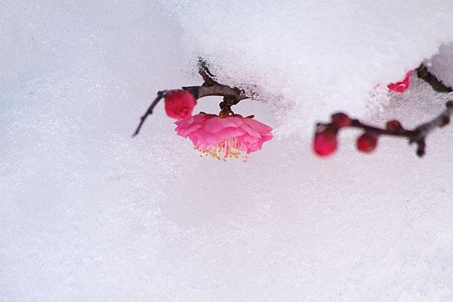 紅梅 ~雪に抱かれて~_c0067040_22475520.jpg