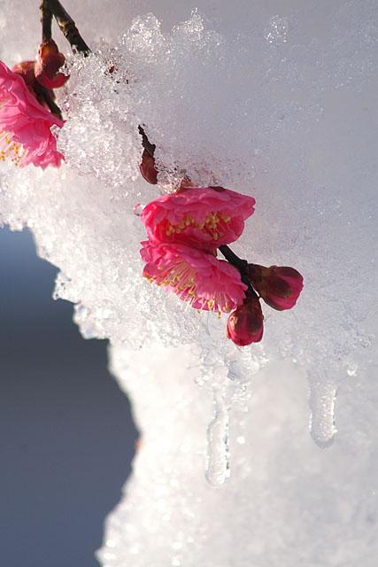 紅梅 ~雪に抱かれて~_c0067040_22482147.jpg