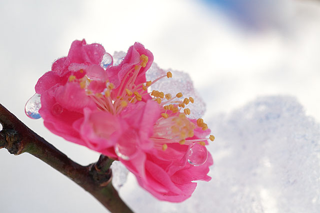 紅梅 ~雪に抱かれて~_c0067040_2248965.jpg