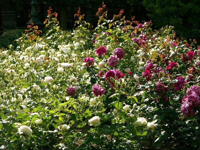 カポーティ……白バラ。_e0044929_22123716.jpg