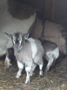 子ヤギが生まれました_f0106597_2121498.jpg