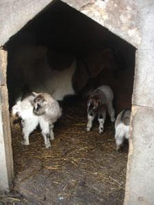 子ヤギが生まれました_f0106597_21253149.jpg