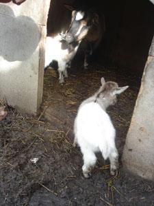 子ヤギが生まれました_f0106597_21261431.jpg
