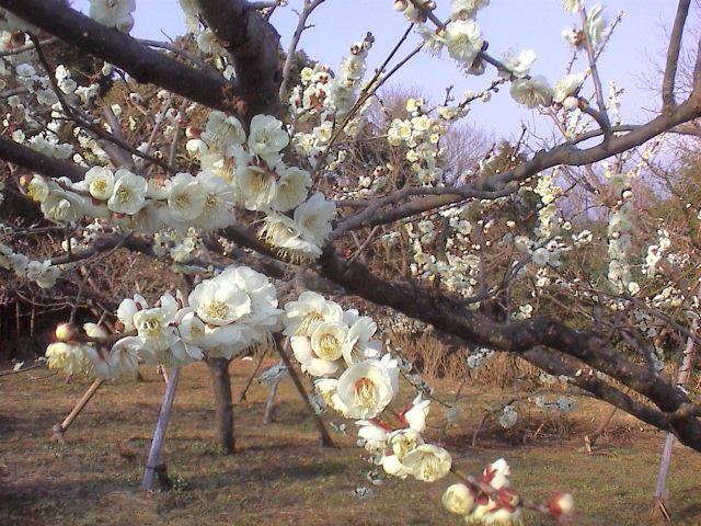 梅の花。_e0060555_19235095.jpg