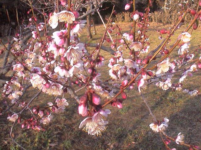梅の花。_e0060555_19242767.jpg