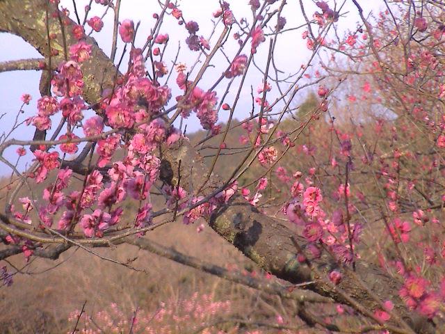 梅の花。_e0060555_19245976.jpg