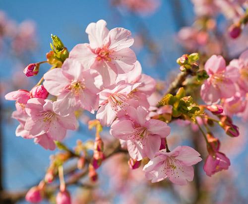 河津桜_f0077521_15144614.jpg