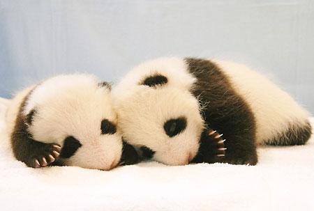 名前が決まった双子のパンダ_b0052564_1232751.jpg