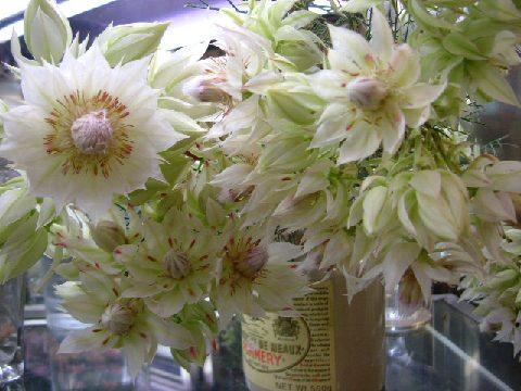 オークリーフ(バレンタインに贈る花)_f0049672_1336817.jpg