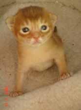 アビシニアンのシナモン(レッド)子猫 女の子_e0033609_13235591.jpg