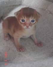 アビシニアンのシナモン(レッド)子猫 女の子_e0033609_13241956.jpg
