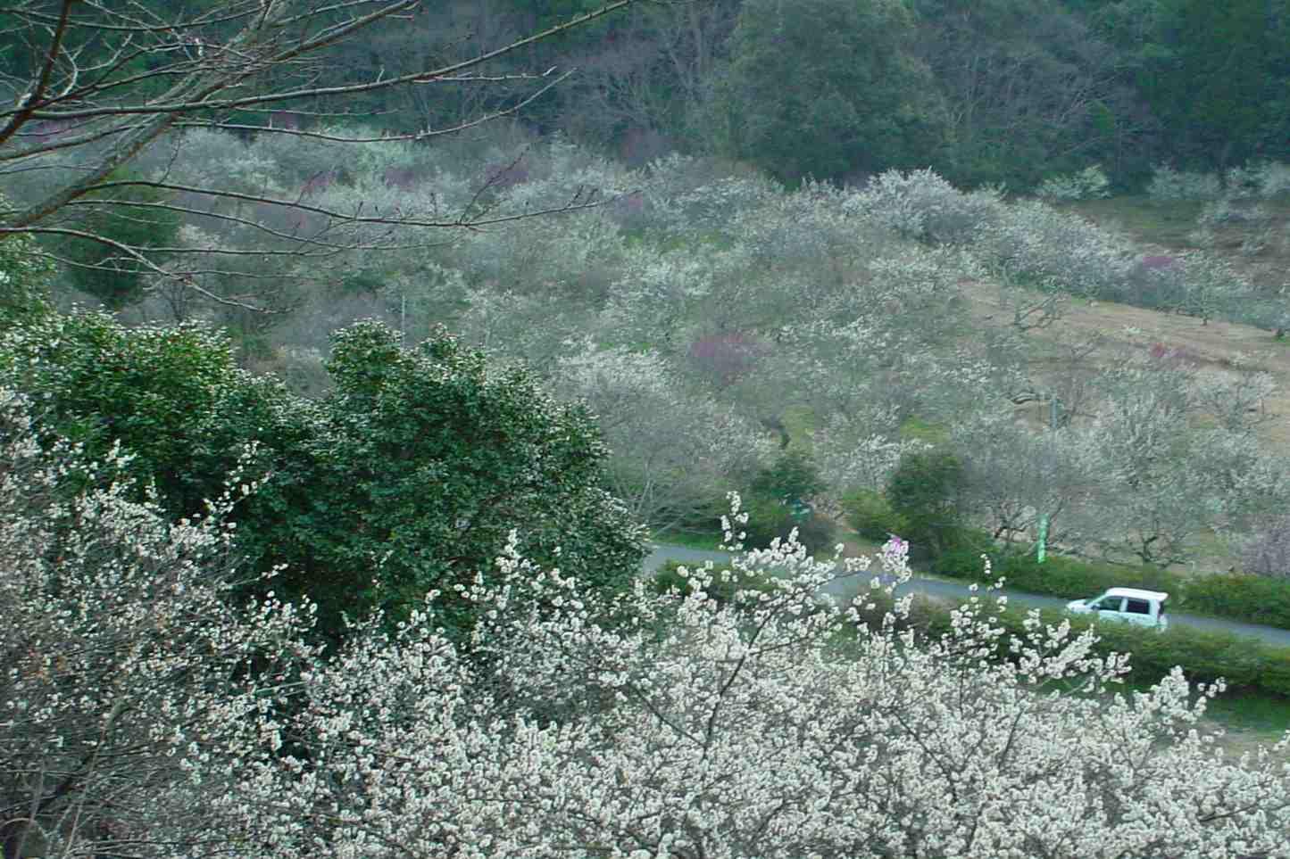 梅の花が咲いてます_f0040201_0513766.jpg