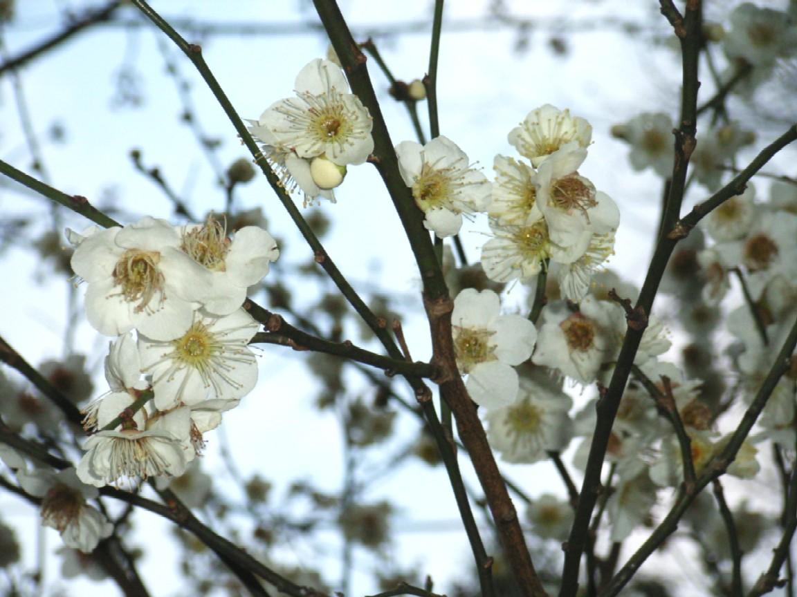 梅は咲いたか 桜は・・・_d0091021_2361422.jpg
