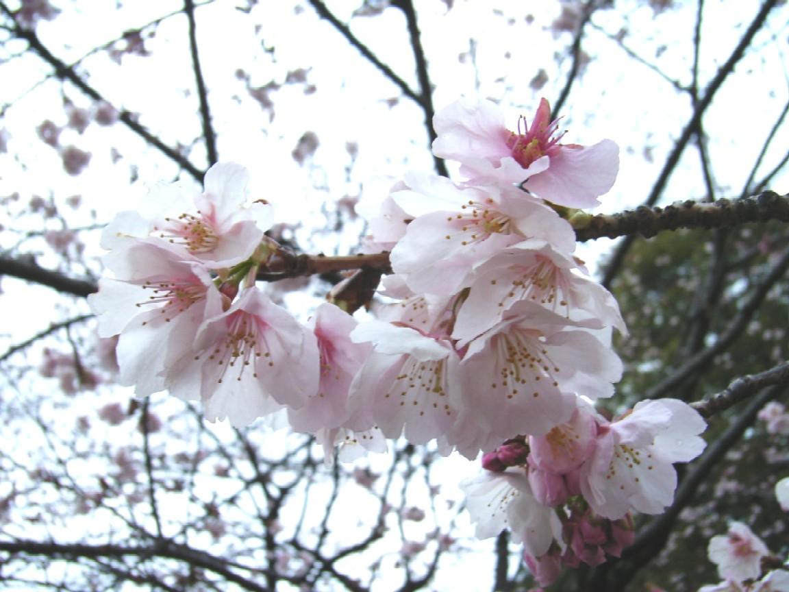 梅は咲いたか 桜は・・・_d0091021_2374793.jpg