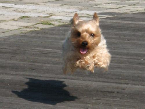 上記写真をアップにした写真。前足を真っ直ぐ前に突き出し、かなり高く飛び上がっています。目は真っ直ぐこっちに向けられ、飼い主に向かって飛んで行く!という意思が感じられます。