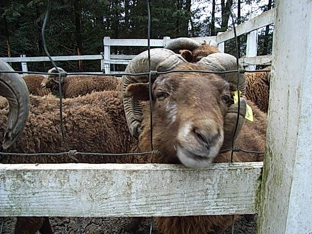 manx loghtan sheep_d0105967_23365415.jpg