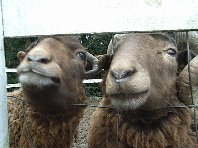manx loghtan sheep_d0105967_23392820.jpg
