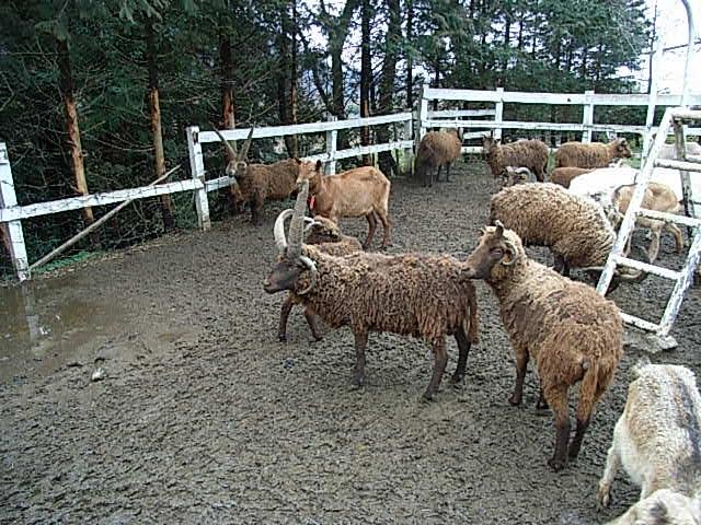 manx loghtan sheep_d0105967_2341759.jpg