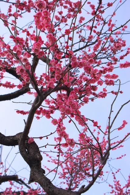 紅梅とその枝_e0063851_2336082.jpg
