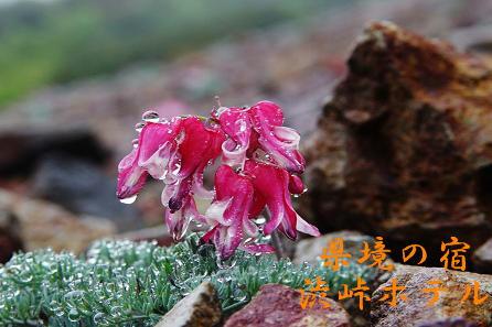高山植物の女王コマクサ_f0076939_11142924.jpg