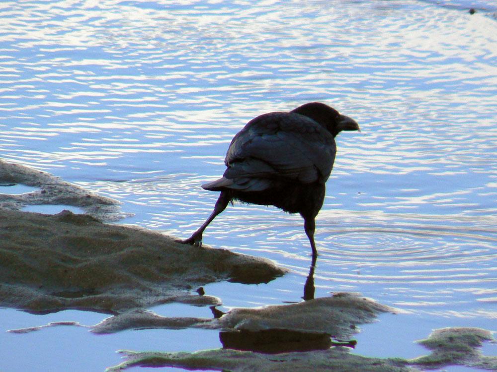カラスさん、水辺で餌捕り_e0088233_22595645.jpg