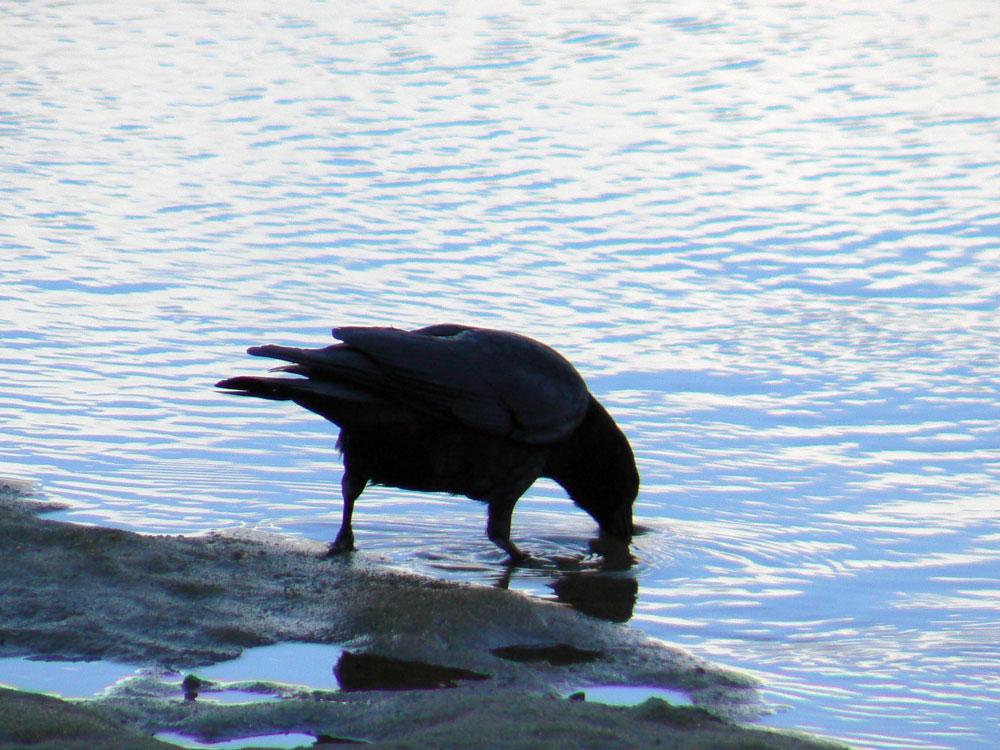 カラスさん、水辺で餌捕り_e0088233_2302754.jpg