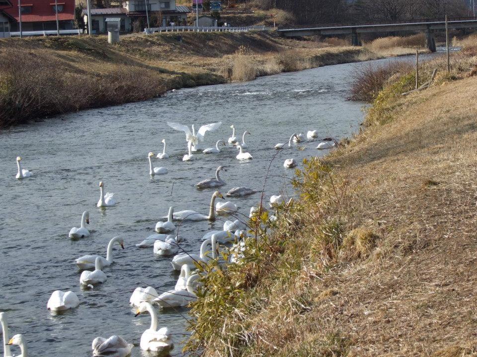 白鳥がいる情景 partⅡ_d0001843_2256535.jpg
