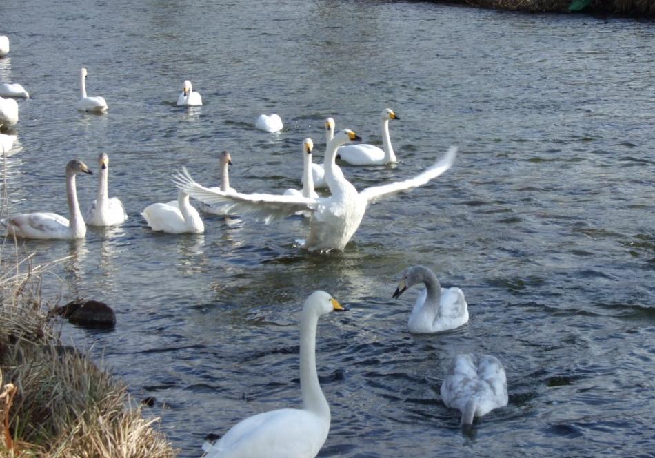 白鳥がいる情景 partⅡ_d0001843_22571110.jpg