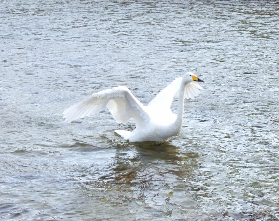 白鳥がいる情景 partⅡ_d0001843_22582618.jpg