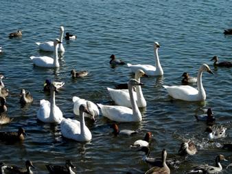 白鳥の湖_f0069775_1724140.jpg