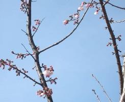 びっくり!桜が_e0095418_14322946.jpg