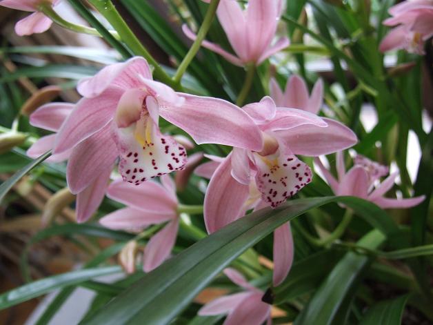 ピンクの蘭 水彩画_b0089338_17513353.jpg