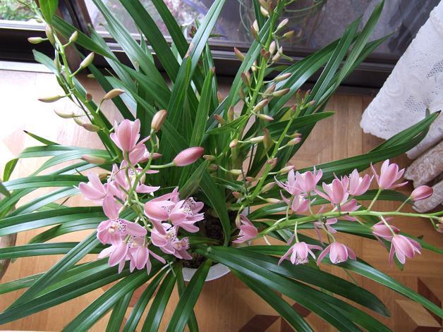 ピンクの蘭 水彩画_b0089338_17514144.jpg