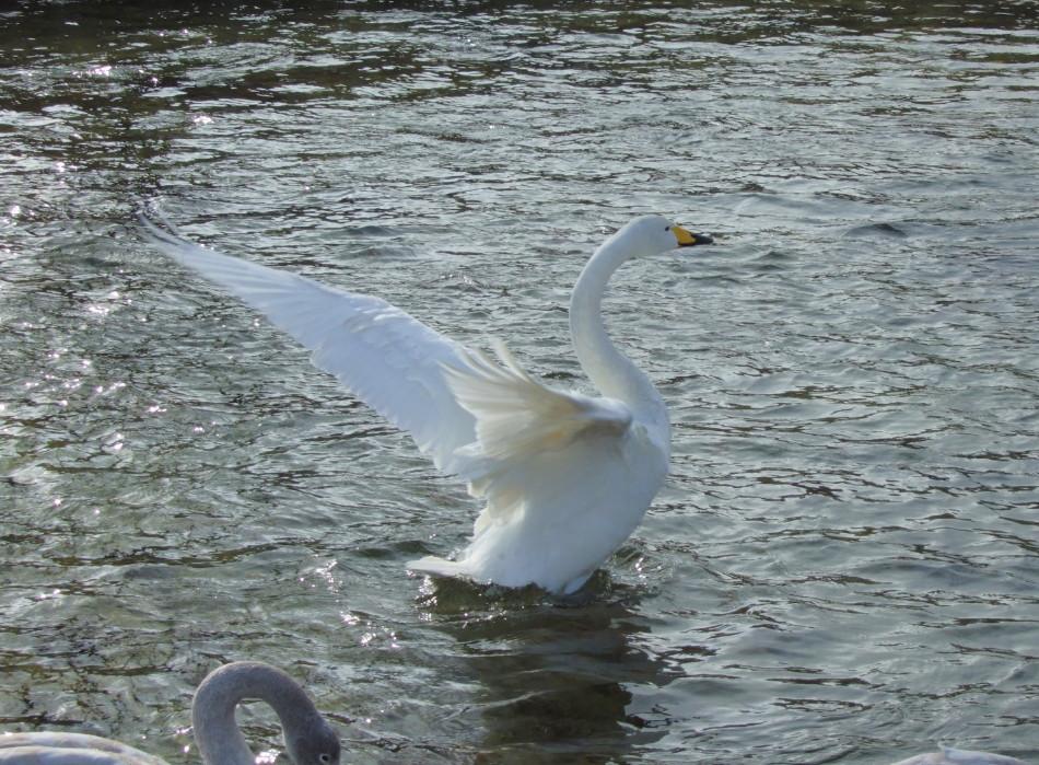 白鳥がいる情景 partⅡ_d0001843_14264953.jpg