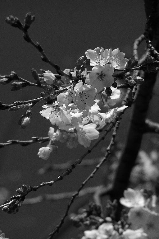 枝垂桜~先陣