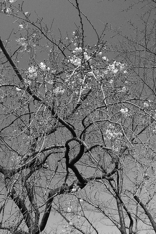 枝垂桜~少々お待ち下さい