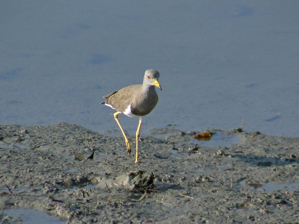 朝の干潟で餌を捕っている ケリ_e0088233_605394.jpg