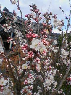 さくらんぼの花が満開_e0081959_1450940.jpg