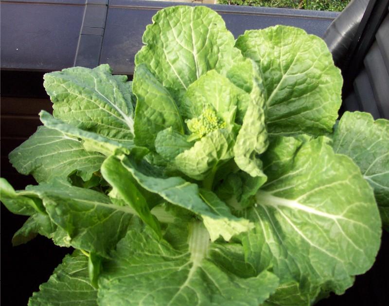 白菜の収穫_c0053863_2326453.jpg
