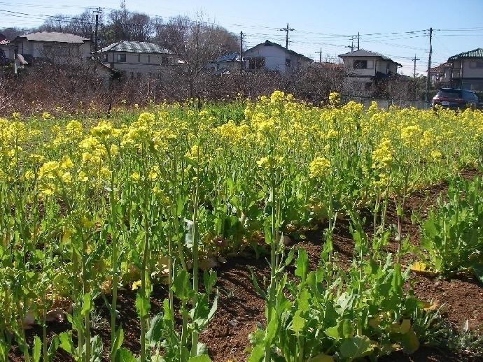 菜の花、ノビル、桜_a0074069_23272882.jpg