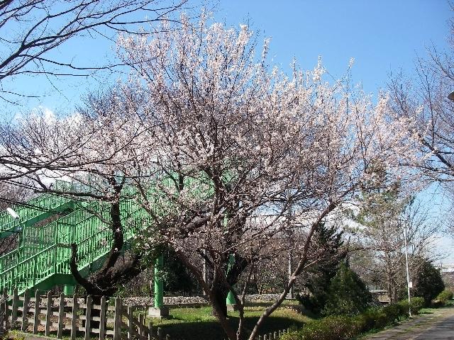 菜の花、ノビル、桜_a0074069_23325833.jpg