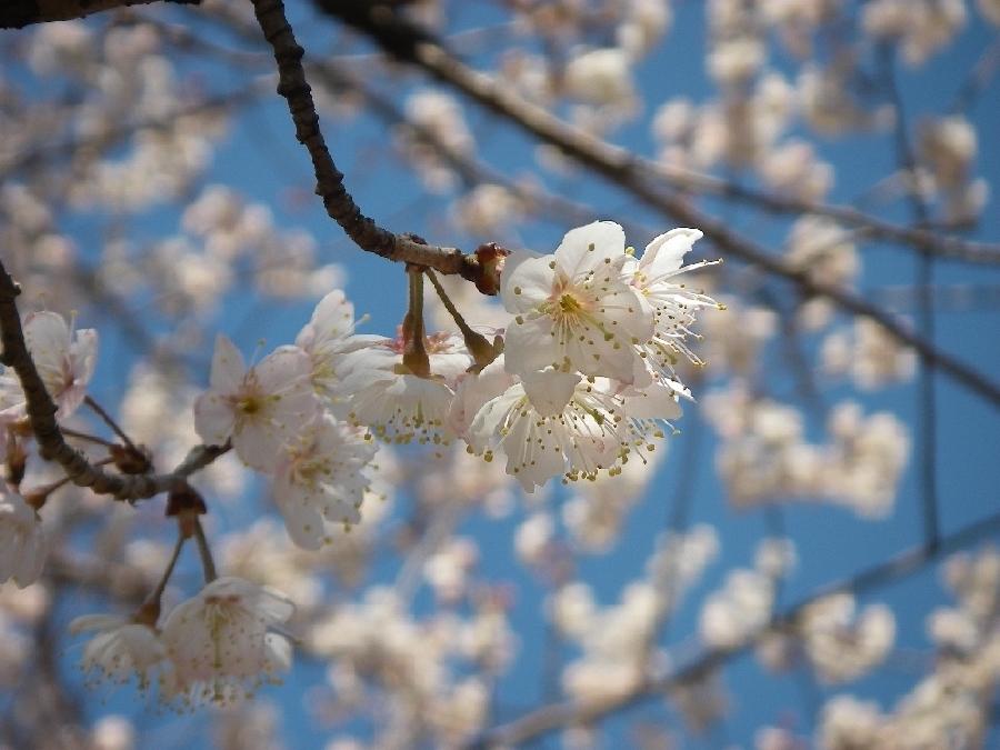 菜の花、ノビル、桜_a0074069_23332477.jpg