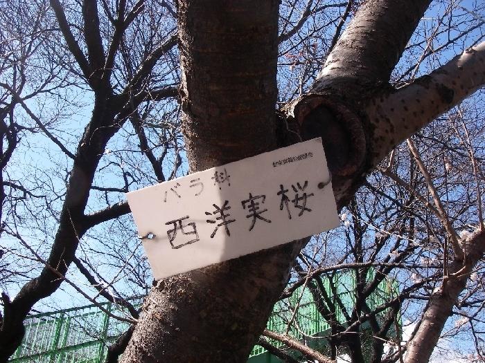 菜の花、ノビル、桜_a0074069_23334853.jpg