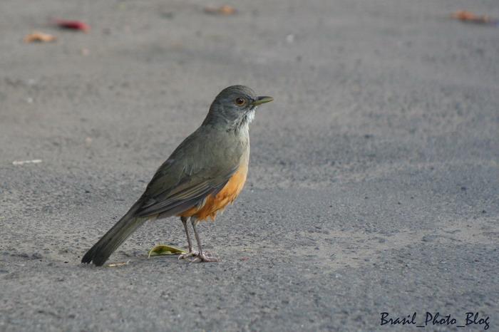 ブラジルの国鳥・南米コマツグミ_e0110461_21123054.jpg