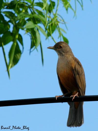 ブラジルの国鳥・南米コマツグミ_e0110461_21133982.jpg