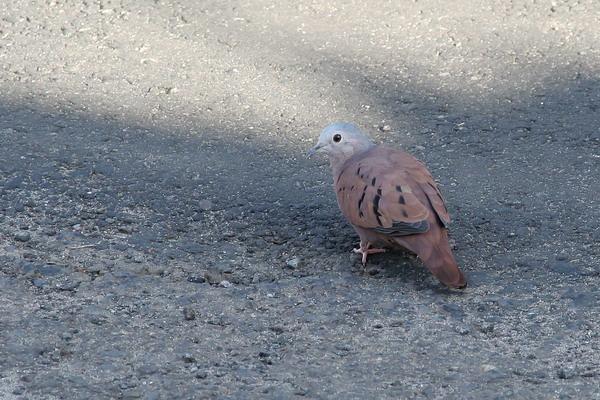 ブラジルの国鳥・南米コマツグミ_e0110461_2330687.jpg